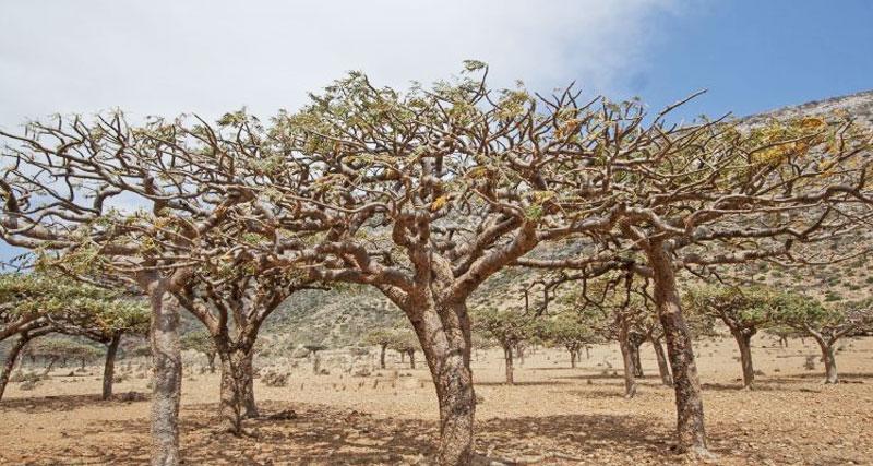 arbre-boswellia