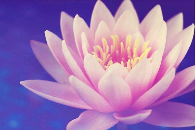 Signification et symbole de la fleur de lotus
