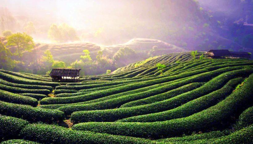 Le thé bio, pourquoi nous avons tous à y gagner ?