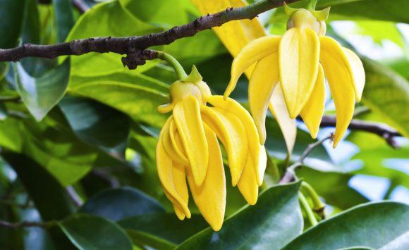 Huile essentielle d'ylang ylang, idéale pour retrouver son calme