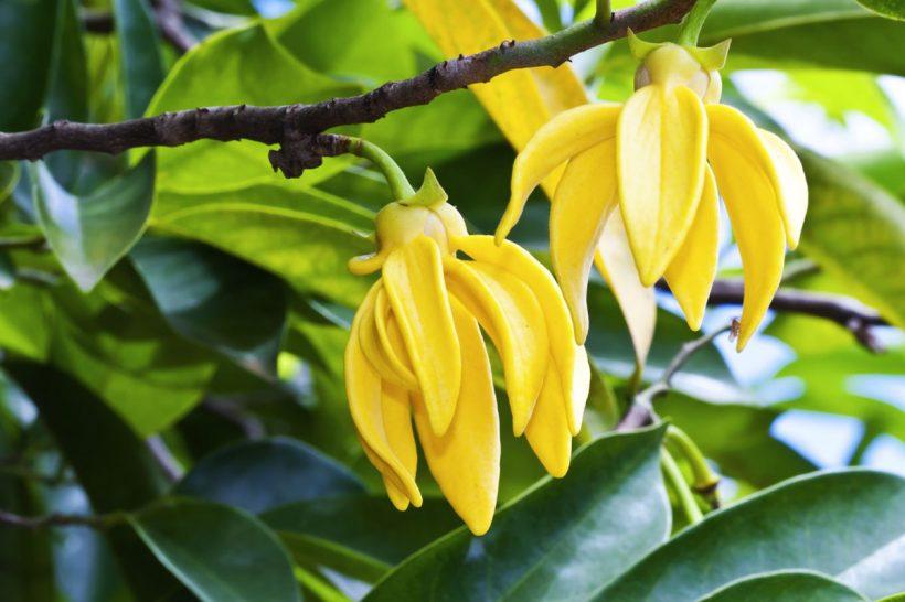 Huile essentielle d'ylang ylang, idéale pour retrouver son calme. Bienfaits et utilisations ▷