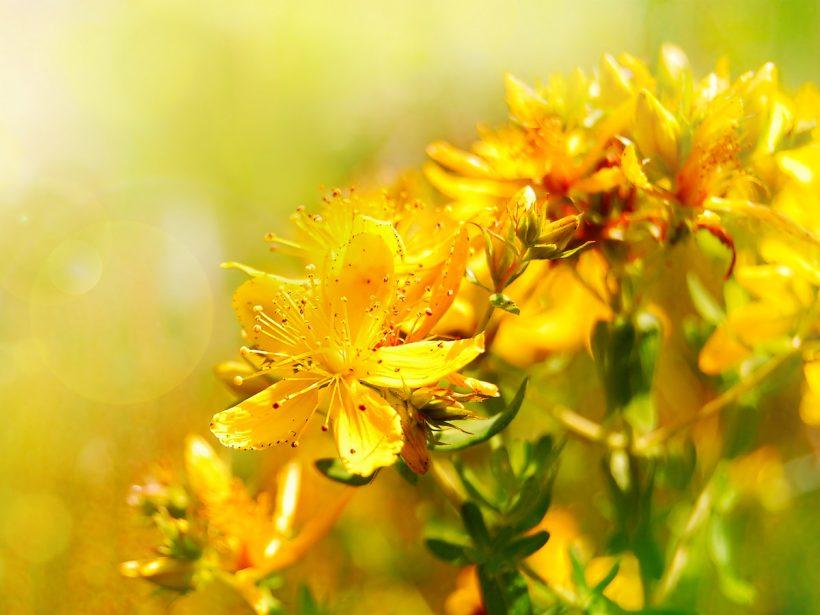 Millepertuis : les incroyables bienfaits de l'hypericum perforatum sur l'humeur.