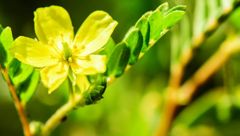 Tribulus Terrestris : plante ayurvédique par excellence pour les hommes ?